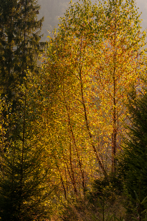 Yellow bright leaves on autumn birches. Trees on the hills are illuminated by bright sunbeam light.