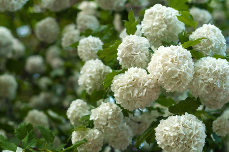 Chinese snowball viburnum flower heads are snowy. Blooming of beautiful white flowers in the summer garden. Delicate caves of white flowers on the branches.