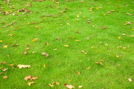 Fallen maple leaves on a green light. Fallen autumn leaves on fresh beveled grass.