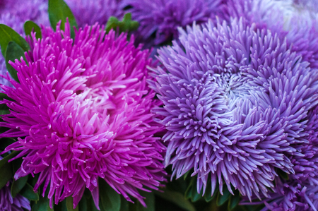 Frilly purple asters in the summer garden. A bouquet of blooming Callistephus chinensis. Lush fresh magenta flowers asters growing in the flower bed.