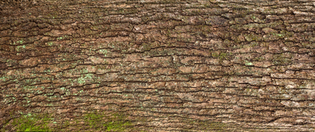 Relief texture of the brown bark of a tree with green moss on it. Panoramic image of a tree bark texture.