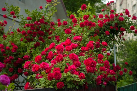 Bright red roses with buds on a background of a green bush after rain. Beautiful red roses in the summer garden. Background with many red summer flowers. Stock Photo