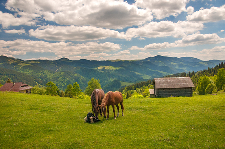 Grazing two horses at high-land pasture at Carpathian Mountains in rays of sunset. Picture of summer pasture on a background of mountains. Brown horses chew clothes on pasture.