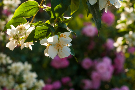 Bush of white jasmine and a pink roses. A garden arrangement of white and pink flowers. Jasmine flower growing on the bush in the garden with sun rays.