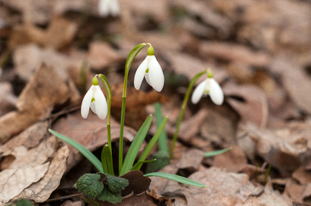 Beautiful snowdrops in the spring forest. Group of white spring flowers.