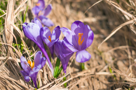 Alpine crocuses blossom in the mountains of the Carpathians on top of the mountain. Fresh beautiful purple crocuses. Flowering blue crocus in summer.