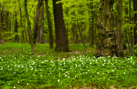 Anemone nemorosa flower in the forest in the sunny day. Wood anemone, windflower, thimbleweed. Fabulous green forest with blue and white flowers. Beautiful summer forest landscape. Banco de Imagens