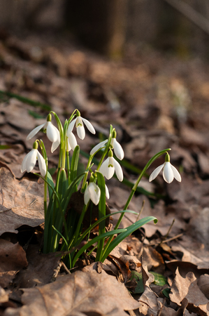 Beautiful snowdrops (Galanthus) in the spring forest. Group of white spring flowers in the spring season.