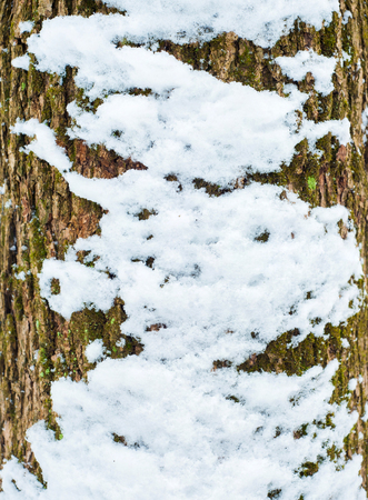 Relief texture of the bark of oak with green moss, lichen and white snow on it. Image of a tree bark texture.