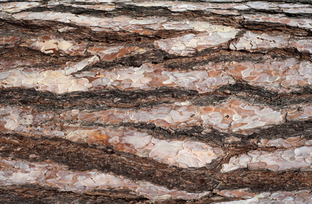 Panoramic photo of relief texture of the bark of pine. Image of a tree bark texture.