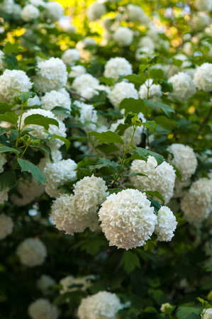 Chinese snowball viburnum flower heads are snowy. Snowball tree (Viburnum opulus) blooming in the garden. Stok Fotoğraf