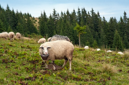 Herd of sheep grazing on green pasture in the mountains. Young white and brown sheep graze on the farm.