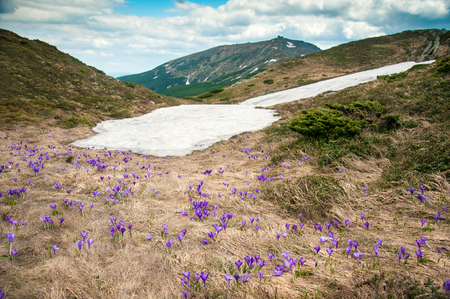 Purple crocuses bloom on the background of the mountains. Remains of snow and flowering crocuses on the background of the mountain Pop Ivan in the Carpathians, Ukraine.