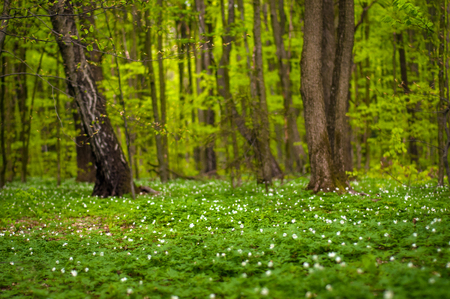 Anemone nemorosa flower in the forest in the sunny day. Wood anemone, windflower, thimbleweed. Fabulous green forest with blue and white flowers. Beautiful summer forest landscape. Stock fotó
