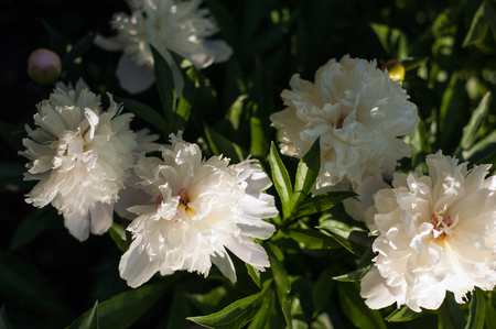 White peonies with unblown buds in the garden. Blooming white peony against a background of blurry green leaves.