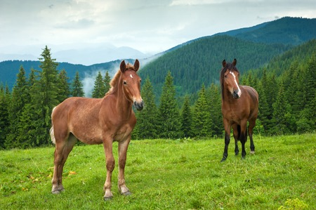 Grazing horse at high-land pasture at Carpathian Mountains after rain. Picture of a beautiful green pasture on a background of mountains.