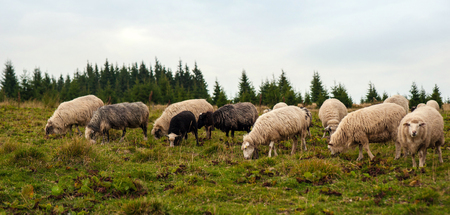 Panorama of the landscape with herd of sheep grazing on the green pasture in the mountains. Young white and brown sheep graze on the farm.