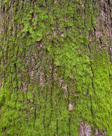 Moss on it. Photo of a tree bark texture. Relief creative texture of an old oak bark.