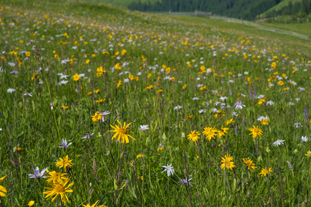 Background or texture. Medicinal plant Arnica (Arnica montana) blooms in alpine meadow. 版權商用圖片
