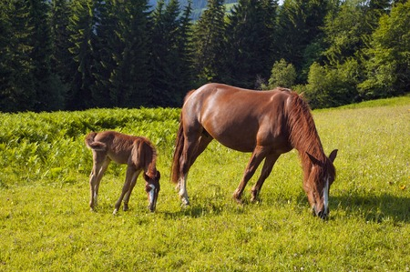 Foal with horse mom on the farm graze. Brown mare and foal grazing together in the summer. Imagens