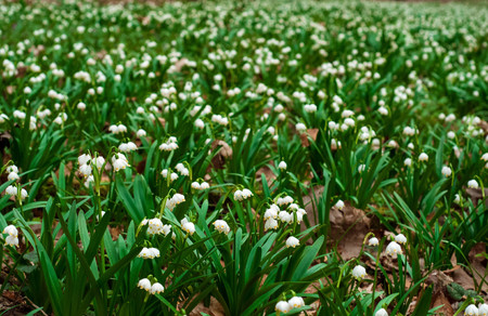 White fresh snowdrops bloom in the forest in spring. Tender spring flowers snowdrops harbingers of warming symbolize the arrival of spring