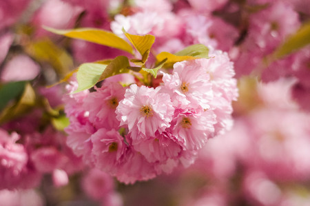 Tender Sakura flowers close up blossoming in spring season. Beauty spring nature with pink spring blossom in Uzhgorod, Ukraine. Abstract Sakura Background.