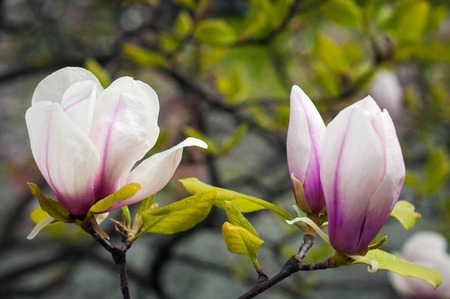 Pink And White Magnolia Flowers Beautiful Magnolia Tree Magnolia