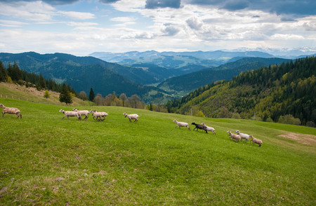 Carpathians, Ukraine. Journey in the mountains. Hiking Travel Lifestyle concept. Flock of sheep in the carpathians. 免版税图像