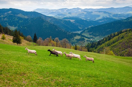 Carpathians, Ukraine. Journey in the mountains. Hiking Travel Lifestyle concept. Flock of sheep in the carpathians. Stok Fotoğraf