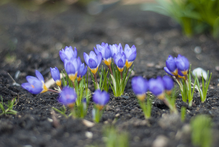 View of the magic blooming spring flowers crocus growing in wildlife. Purple crocus growing from earth outside. Fresh beautiful purple crocuses. Flowering blue crocus in spring.