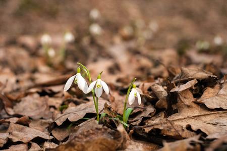 Bucaneve bianchi freschi fioriscono nella foresta in primavera. Teneri fiori primaverili bucaneve presagi di riscaldamento simboleggiano l'arrivo della primavera