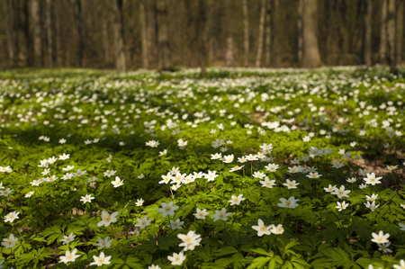 Anemone nemorosa flower in the forest in the sunny day. Wood anemone, windflower, thimbleweed. Fabulous green forest with blue and white flowers. Beautiful summer forest landscape. Stock Photo