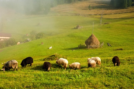 Carpathians, Ukraine. Journey in the mountains. Hiking Travel Lifestyle concept. Flock of sheep in the carpathians. Stock Photo