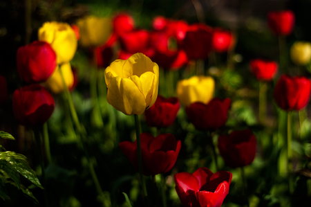 Beautiful tulips flowers blooming in a garden. Colorful tulips in sunny day. Bulbous spring-flowering plant close up.