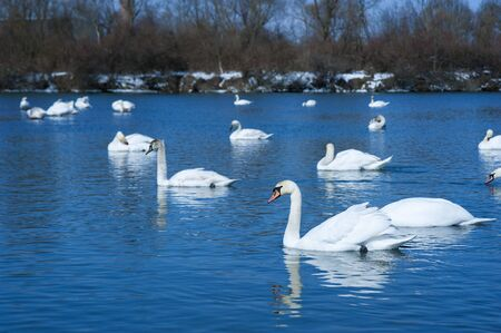 White swans in the early spring. Group of beautiful white swans in the blue water. Stock Photo
