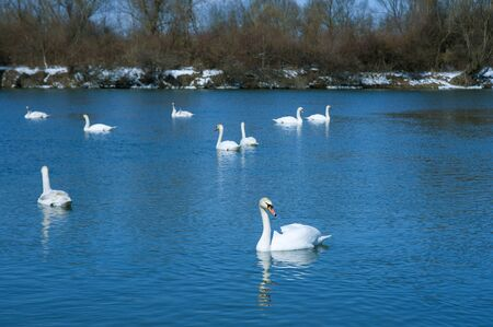 White swans in the early spring. Group of beautiful white swans in the blue water. Standard-Bild