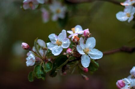 The beautiful Apple tree blooms. Spring flowers. Close-up of white and pink flowers Stock Photo