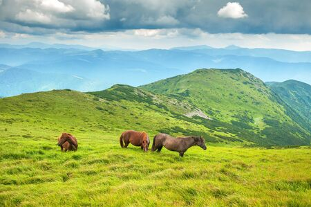 Grazing horses at the high-land pasture at Carpathian Mountains. Herd of horses is grazed against the mountains in the summer.