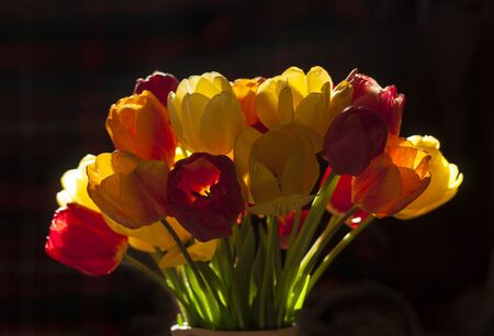 Bouquet of tulips in the backlight. Red and yellow tulips in backlighting. Multi-colored tulips close-up. Macro shot of tulips in the lumen. Reklamní fotografie