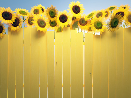 sunflower field: sky sunflowers and yellow fence
