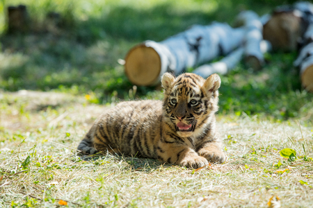 Little cub tiger in the wild on the grass cute and funny Imagens