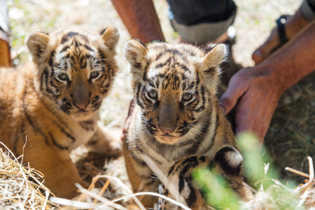 Little cubs in the wild on the grass are cute and funny in the caring hands of a man