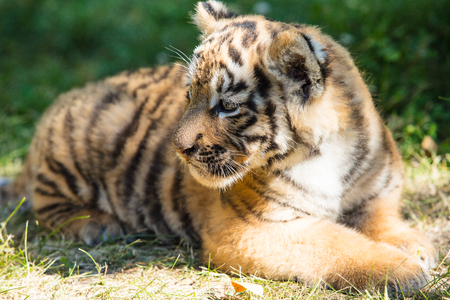 Little cub tiger in the wild on the grass cute and funny 免版税图像