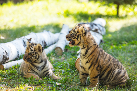 Little cubs in the wild on the grass are cute and funny