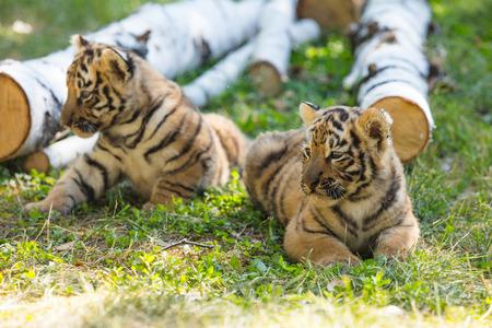 I piccoli cuccioli allo stato brado sull'erba sono carini e divertenti