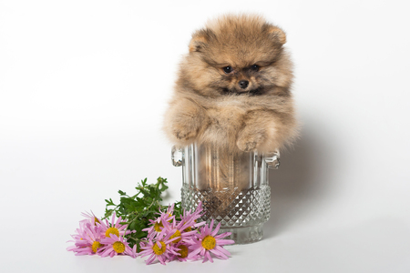 Pomeranian puppy in a vase and chrysanthemum