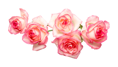 five pink roses on a white background, beautiful fresh roses.