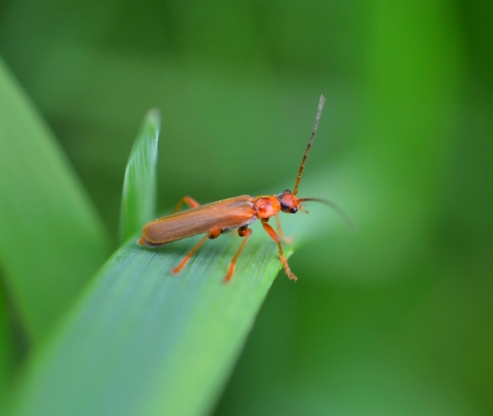 microcosm: Orange beetle on a green leaf Stock Photo