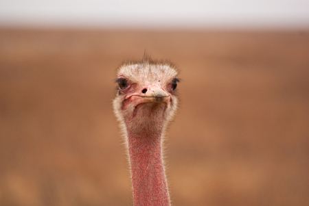 Goofy ostrich