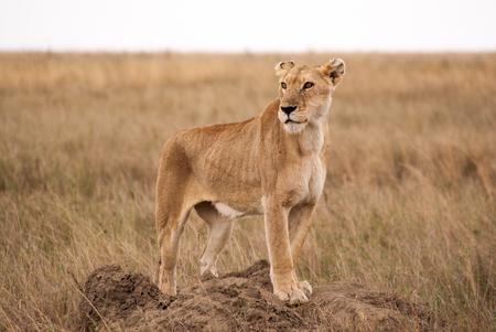 Lioness on termite hill in the Serengeti Standard-Bild